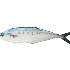 Saram (Queenfish)